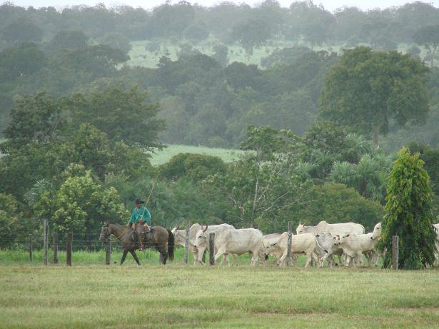 """Vaqueiro que segue na frente """"ponteiro"""" do lote de animais, conduz a vara direcionada para cima, facilitando a visualização de todos os animais do lote para a direção na qual serão conduzidos."""