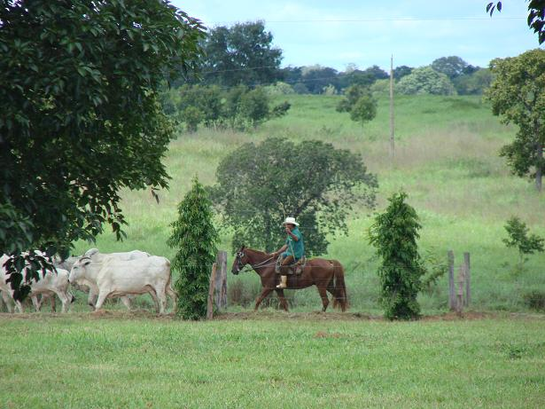 """O vaqueiro que segue atrás """"culatra"""" do lote, com a vara direcionada para cima, facilitando a visualização dos animais do seu posicionamento."""