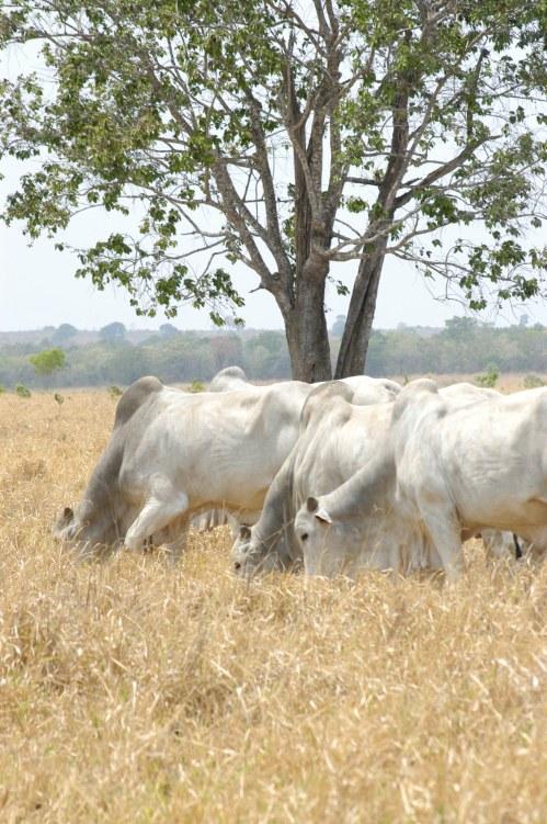 Convivência em pequenos grupos (cerca de 30 animais) resulta em maior ganho de peso