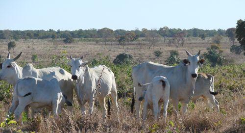 Matriz IRCA amamenta dois bezerros: o seu próprio fiho e o da vaca ao lado, já em processo de desmama natural.